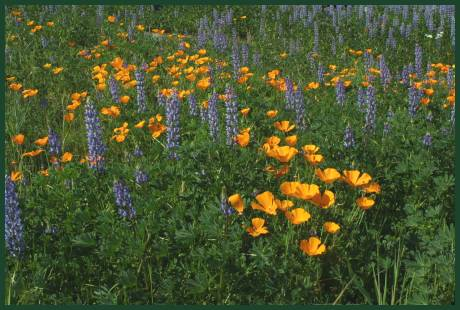 Lupine and Poppy Field