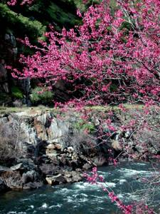 Redbuds on the Merced River